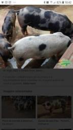 Leitão porco