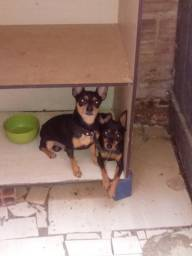 Cachorrinhos pinscher N1