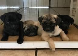 Lindos Bebês Pugs