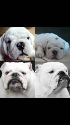 Filhotes(fêmea)de Bulldog inglês com pedigree