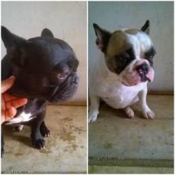 Bulldog Francês Casal de bulldog frances