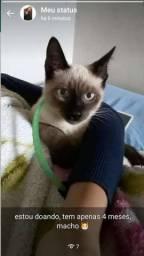 Gato siamês, macho 4 meses