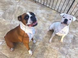 Vendo Cães da raça Boxer (Adultos)