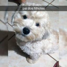 Lhasa X poodle