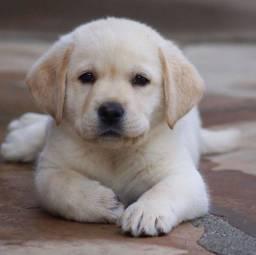 Labrador, macho e fêmea á pronta entrega, com garantias inclusas!
