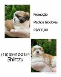 Shihtzu com pedigree microchip até em 18x