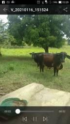 Vende se 1 vaca girolanda e uma três quarto