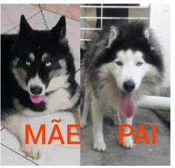 Vendo ou troco filhote de husky siberiano puro pais nas fotos dos pais também
