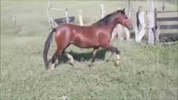 Grande Oportunidade de Cavalos Manga Larga !!!