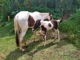 Égua pampa e potra linda com 2 meses de nascida.