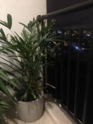 Nova Planta com vazo clarinho