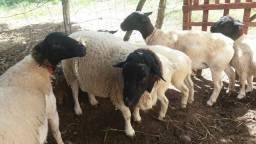 Ovelhas Dorper puros