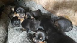 Rottweiler Filhotes - Rottweiler puro