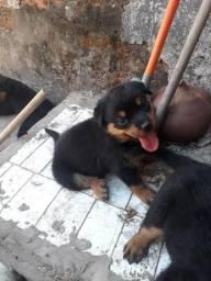 Filhotes de Rottweiler
