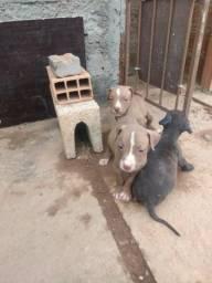 Cachorro Pitbull no Brasil | OLX