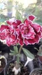 Sementes de Rosa do Deserto (Enviamos para todo Brasil)