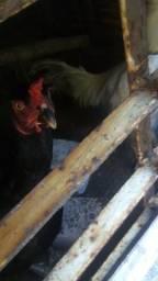 Casal de galinha.