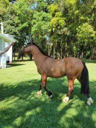 Cavalo Crioulo Inteiro