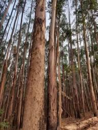 Vendo floresta de eucalipto em pé