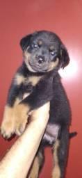 Linda fêmea de Rottweiler disponível