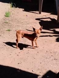 Cachorrinho(macho)
