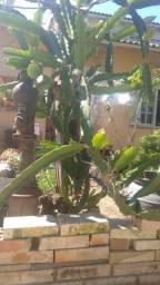Vendo mudas de Pitaya