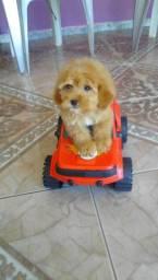 Poodle toy  mini machinho