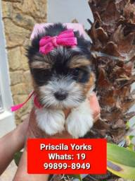 Yorkishire Biewer e terrier filhotes exclusivos