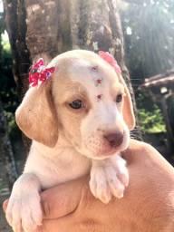 Última beagle fêmea disponível !
