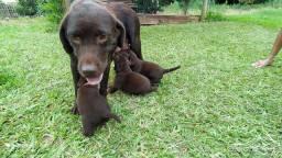 Últimos machos labrador chocolate