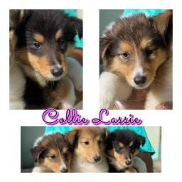 Collie Lassie com pedigree e microchip em até 18x