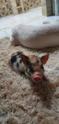 Mini pig 3 meses vermifugada e vacinada.