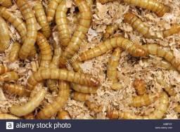 Larva de tenébrio vivas