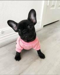 Bulldog Francês macho com garantia de vida e pureza em contrato