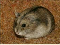 Vendo lindos Hamsters Anão Russo
