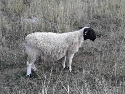Carneiros ovinos Dorper e Santa Inês