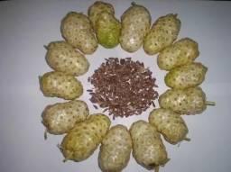 100 Sementes De Noni (moringa Citrifolia)
