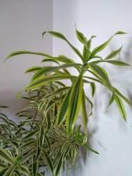 Árvore Plantada em Vaso para a Apartamento