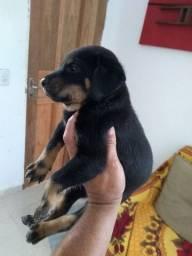 Vendo filhotes de rottweiler com fila brasileiro 300
