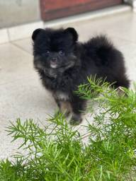Venda permanente de filhotes de spitz alemão/Lulu da pomerania