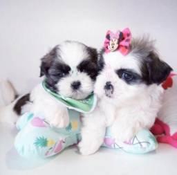 Macho & Fêmea!!! Filhote com Pedigree e Garantia de Saúde Shih Tzu