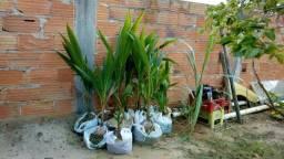 Vendo mudas de coco anão