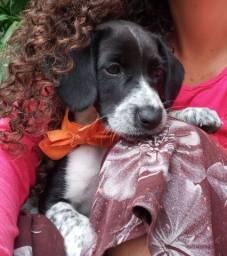 Femia beagle 3meses