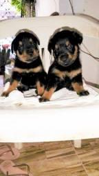 Filhotes de Rottweiler 1 mês dia 28/03/2021