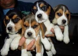 Beagle filhote lindos 13 polegadas