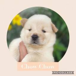 Chow Chow com pedigree e microchip em até 18x