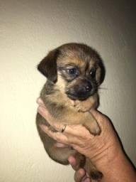 Filhote de yorkishire terrier