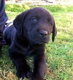 Labrador de Ótima Linhagem com Garantia!!