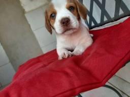 Bingo Beagle