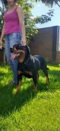 Rottweiler Femea com Pedigree